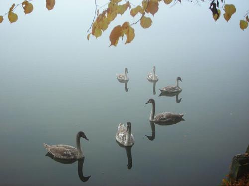 sechs Schwäne im Nebel © Astrologin Bärbel Zöller