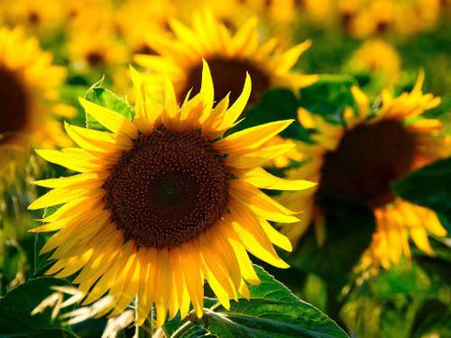 Sonnenblumen © Astrologin Bärbel Zöller
