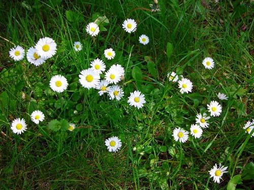 Gänseblumen © Astrologin Bärbel Zöller