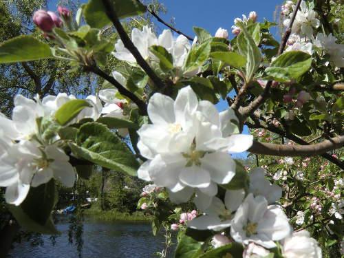 Apfelblüte © Astrologin Bärbel Zöller