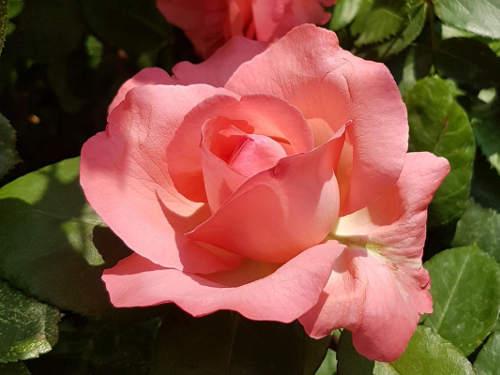 rosarote Rose © Astrologin Bärbel Zöller